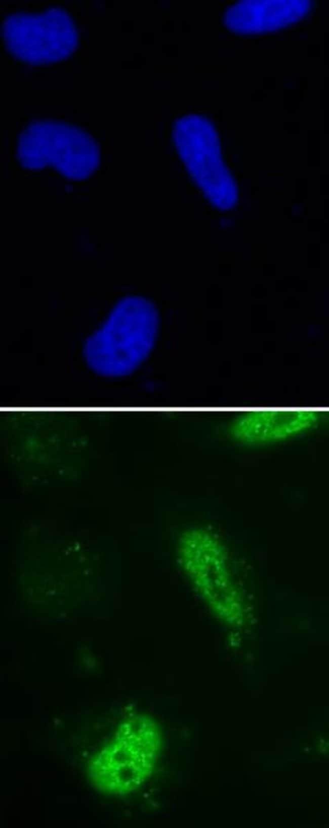 BrdU Mouse anti-Human, Active Motif:Antibodies:Primary Antibodies