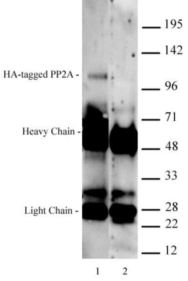 HA-Tag Mouse anti-Human, Active Motif:Antibodies:Primary Antibodies