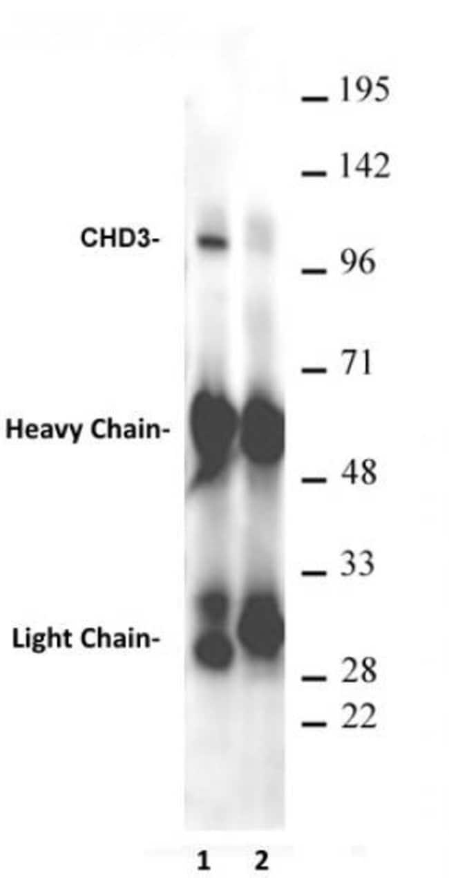 CHD3 Mouse anti-Drosophila, Active Motif:Antibodies:Primary Antibodies