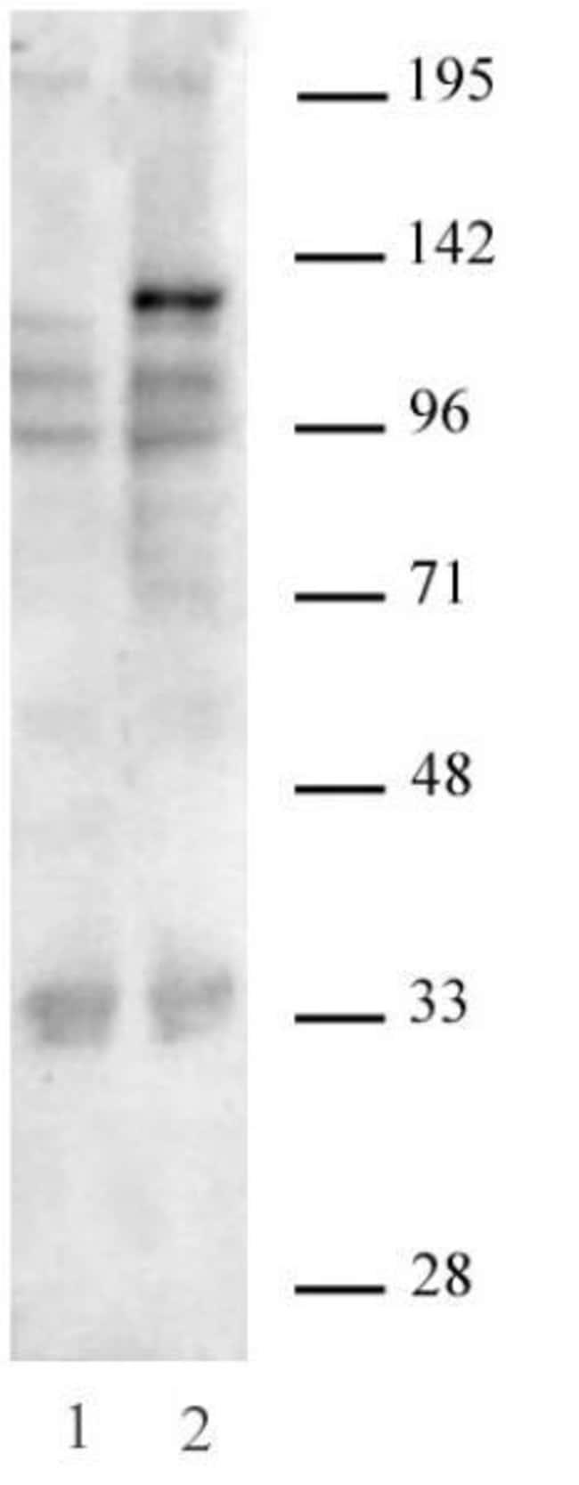 SaCas9 Mouse anti-Human, Active Motif:Antibodies:Primary Antibodies