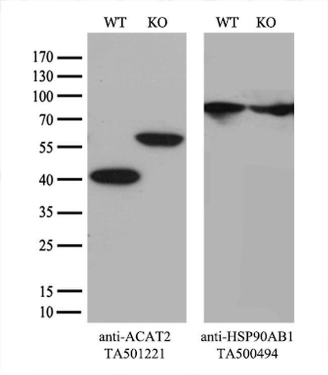 ACAT2 Mouse anti-Canine, Human, Rat, Clone: OTI7B1, liquid, TrueMAB  100