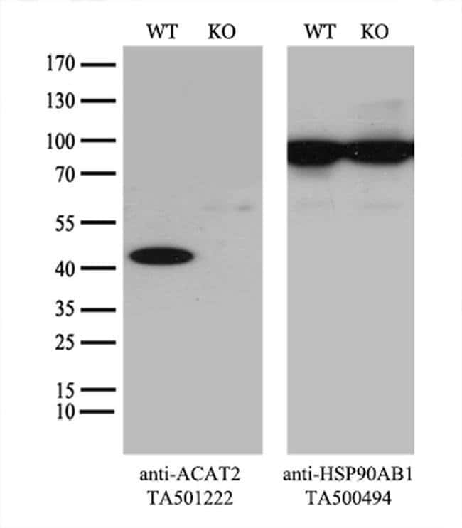 ACAT2 Mouse anti-Canine, Human, Rat, Clone: OTI3E2, liquid, TrueMAB  100