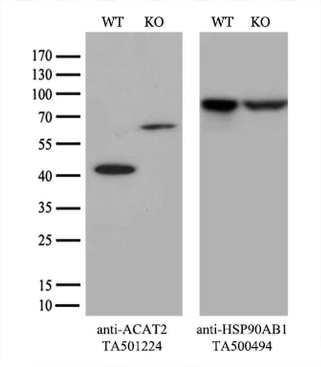 ACAT2 Mouse anti-Canine, Human, Rat, Clone: OTI5C9, liquid, TrueMAB  100
