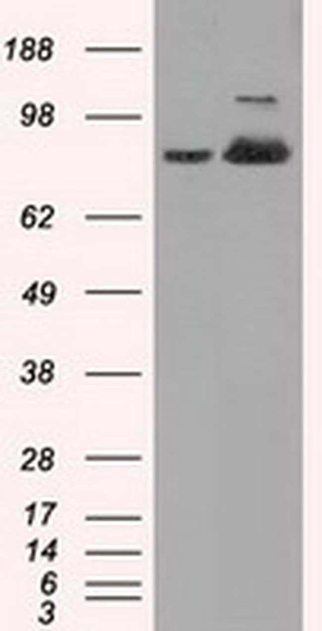 ACO2 Mouse anti-Human, Clone: OTI7G4, liquid, TrueMAB  100 µL; Unconjugated