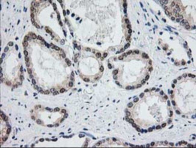 ACY1 Mouse anti-Human, Mouse, Clone: OTI1D4, liquid, TrueMAB  100 µL;