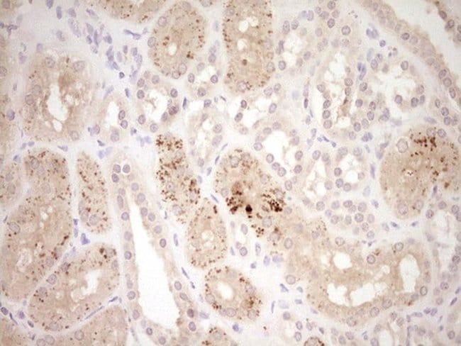 ADAMTS4 Mouse anti-Human, Clone: OTI6F8, lyophilized, TrueMAB  100 µg;