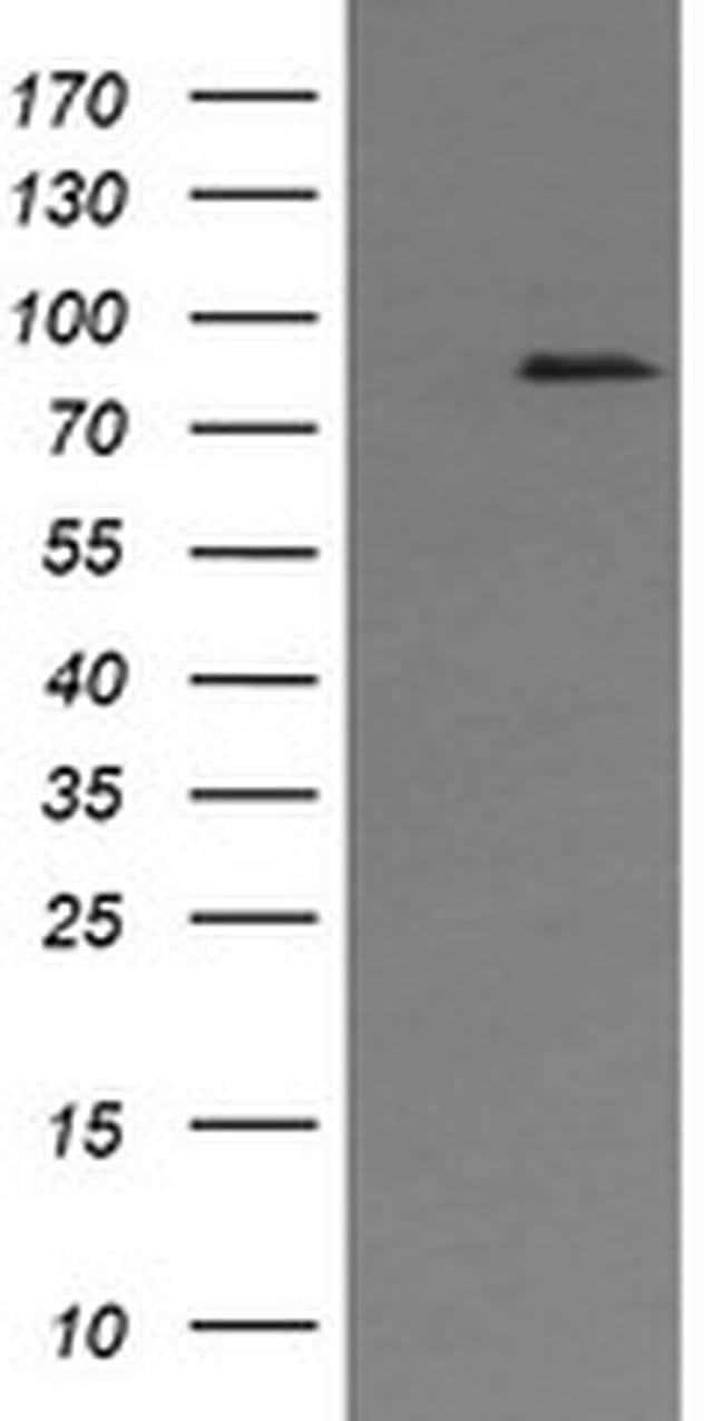 AFG3L2 Mouse anti-Human, Clone: OTI2D3, liquid, TrueMAB  100 µL; Unconjugated