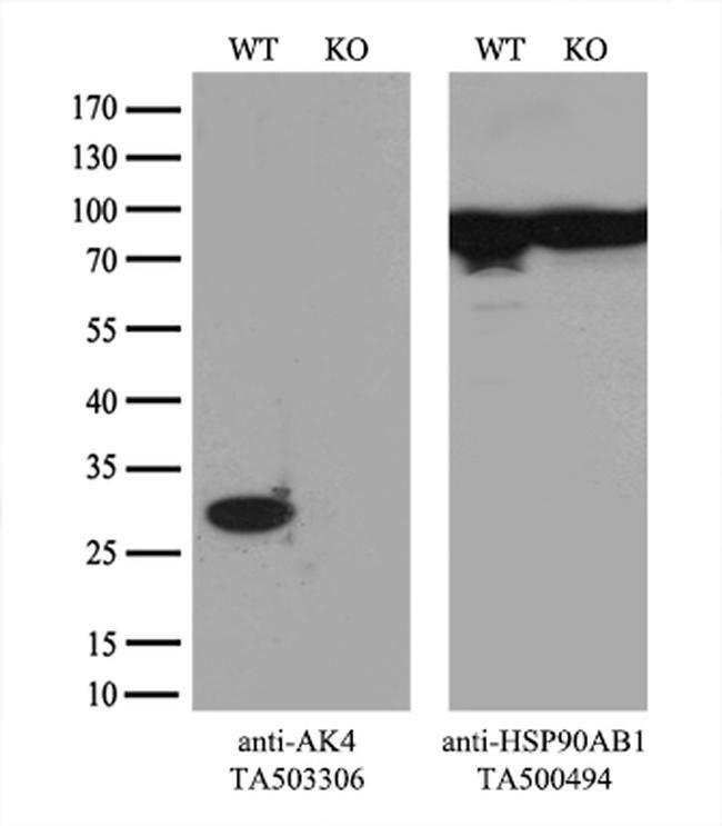 AK4 Mouse anti-Canine, Human, Clone: OTI2B12, liquid, TrueMAB  100 µL;