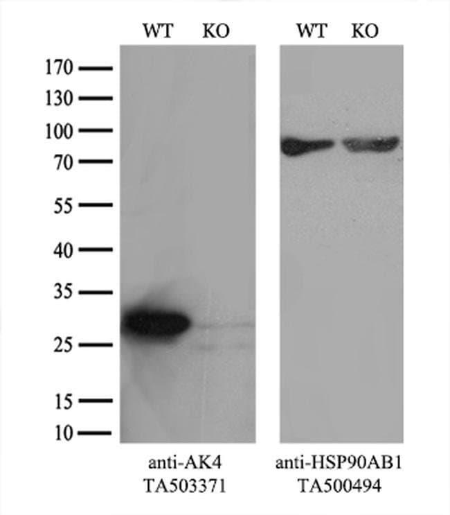 AK4 Mouse anti-Human, Clone: OTI3A9, liquid, TrueMAB  100 µL; Unconjugated