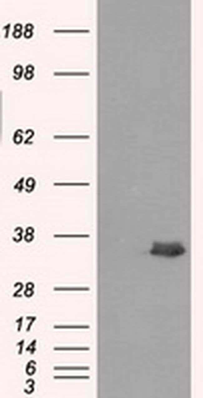 AKR1A1 Mouse anti-Human, Clone: OTI2E7, liquid, TrueMAB  100 µL; Unconjugated