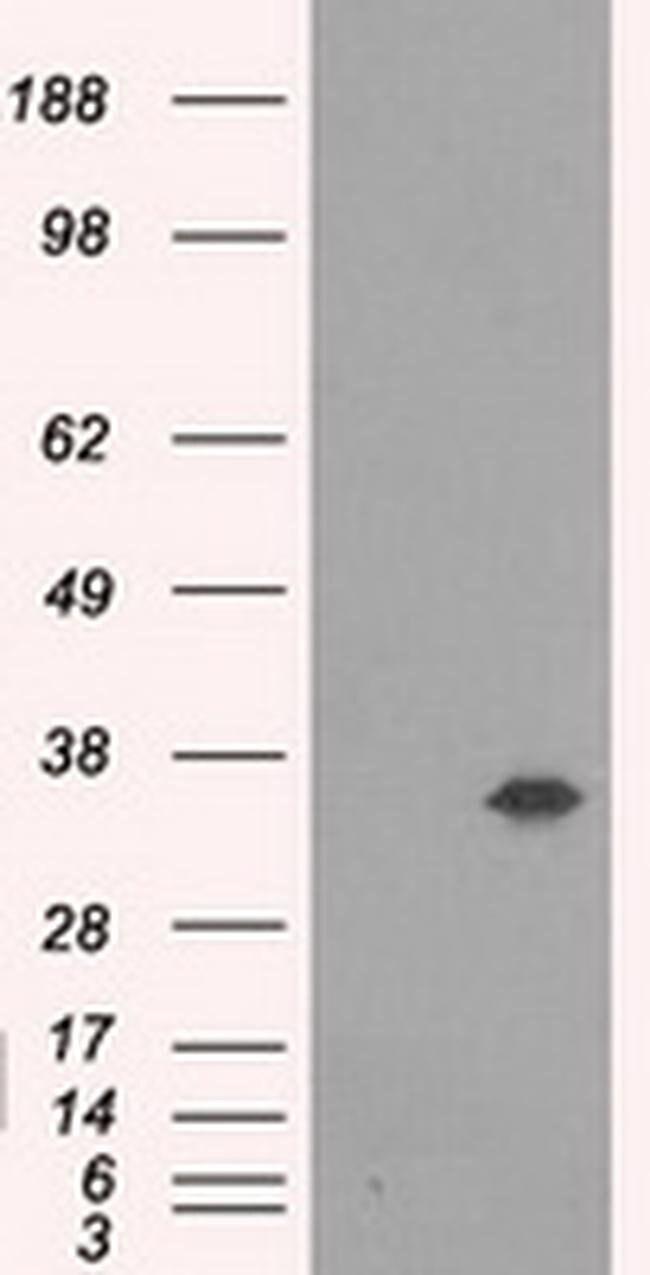 AKR1A1 Mouse anti-Human, Clone: OTI3C7, liquid, TrueMAB  100 µL; Unconjugated
