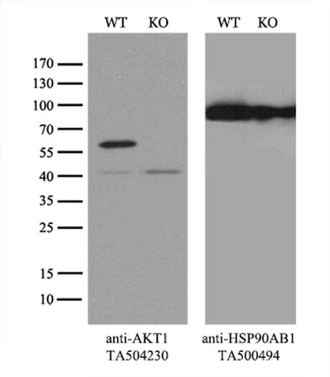 AKT1 Mouse anti-Canine, Human, Mouse, Rat, Clone: OTI4D6, liquid, TrueMAB