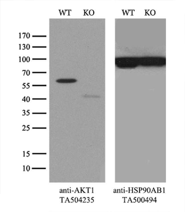 AKT1 Mouse anti-Canine, Human, Mouse, Rat, Clone: OTI4C11, liquid, TrueMAB