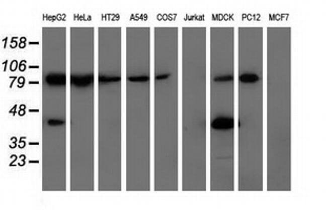 ALDH1L1 Mouse anti-Canine, Human, Rat, Clone: OTI2A6, liquid, TrueMAB