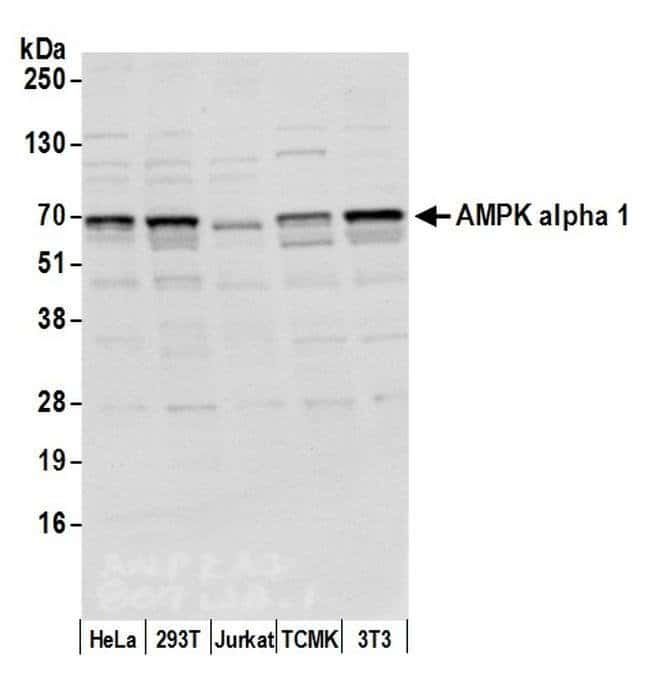 AMPK alpha 1 Rabbit anti-Bovine, Human, Rat, Polyclonal, Bethyl Laboratories
