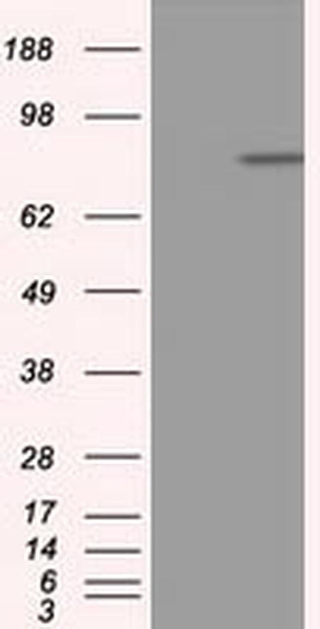 APP Mouse anti-Human, Clone: OTI6F11, liquid, TrueMAB  100 µL; Unconjugated