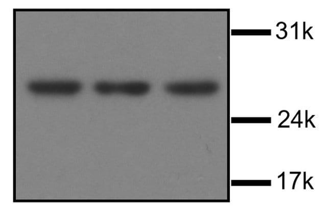 ARCH Mouse anti-Human, Rat, Clone: 1G4, Invitrogen 100 µg; Unconjugated