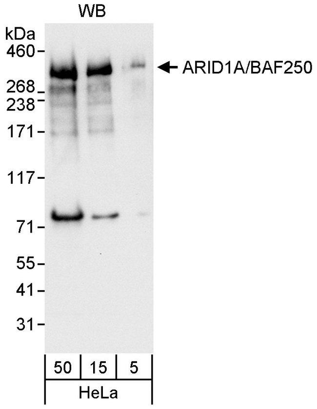 ARID1A/BAF250 Rabbit anti-Human, Polyclonal, Bethyl Laboratories  100 µl;