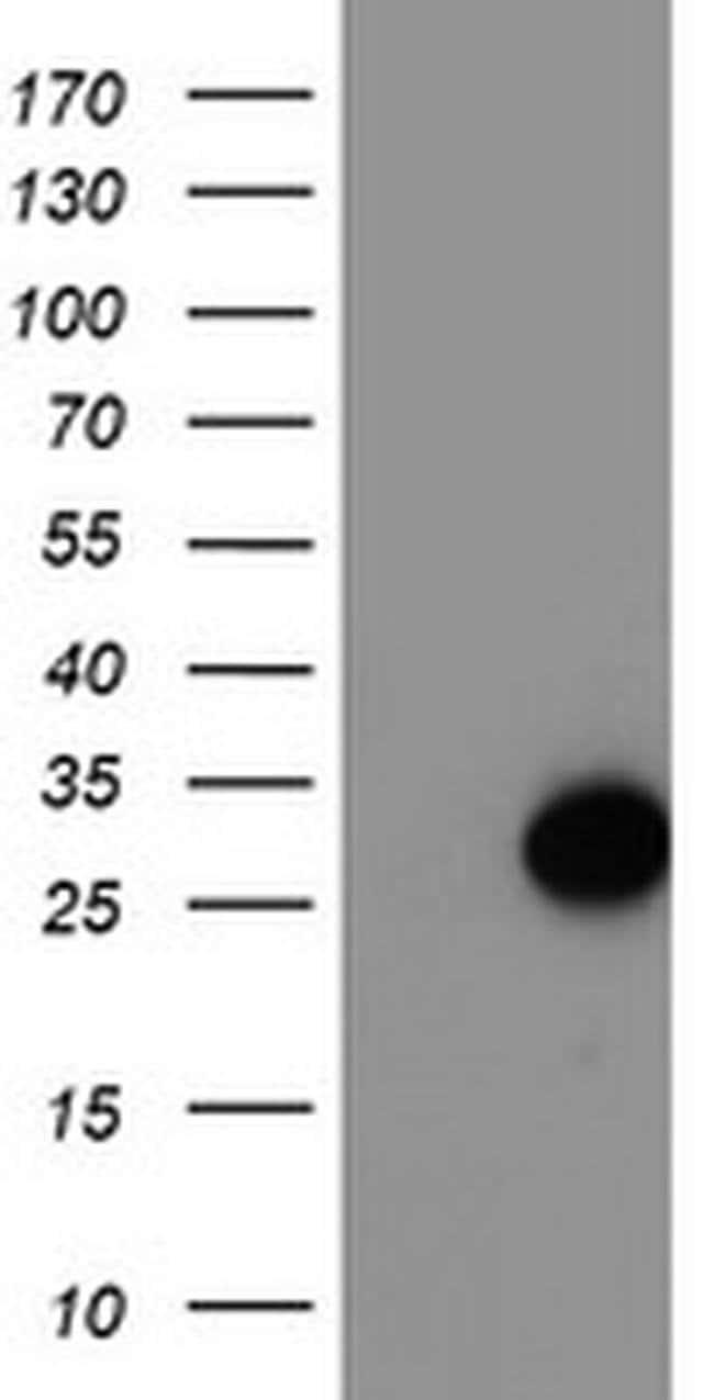 ARL11 Mouse anti-Human, Clone: OTI1A5, liquid, TrueMAB  100 µL; Unconjugated