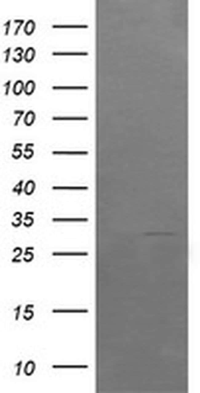 ARMC1 Mouse anti-Human, Clone: OTI1D10, liquid, TrueMAB  100 µL; Unconjugated