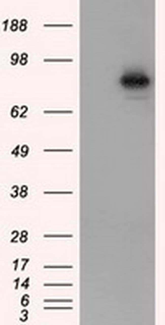 ARNT Mouse anti-Human, Clone: OTI1A1, liquid, TrueMAB  100 µL; Unconjugated