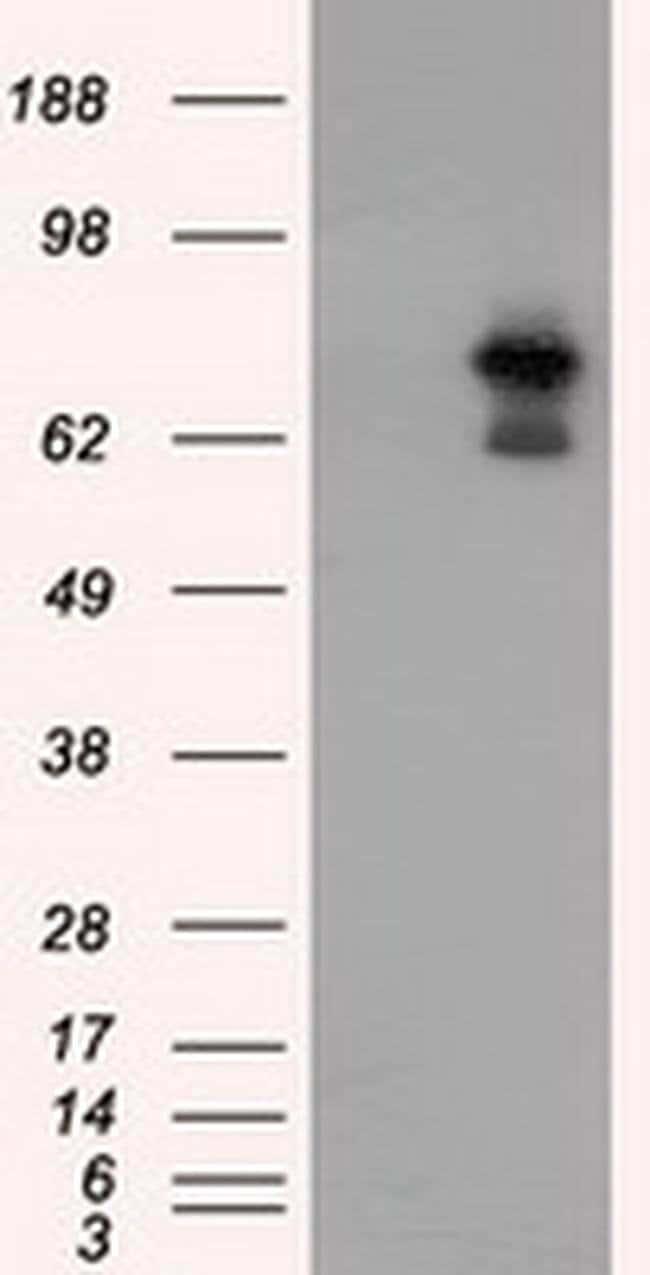 ARNT Mouse anti-Human, Clone: OTI1D10, liquid, TrueMAB  100 µL; Unconjugated