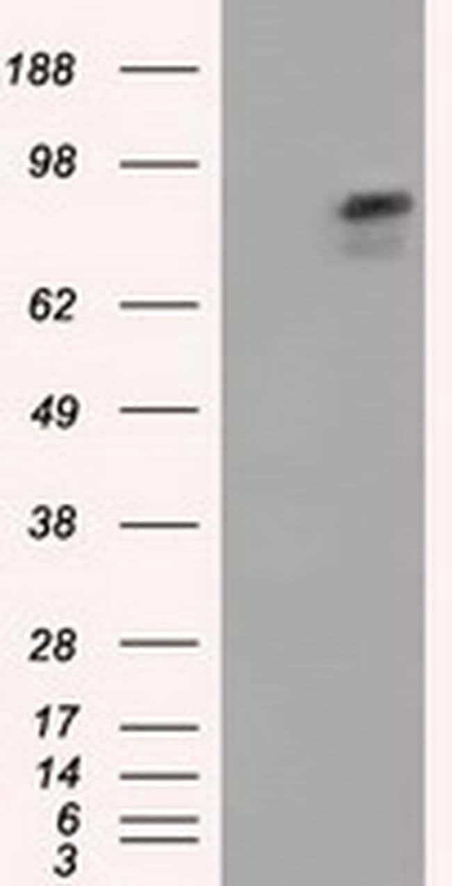 ARNT Mouse anti-Human, Clone: OTI1F4, liquid, TrueMAB  100 µL; Unconjugated