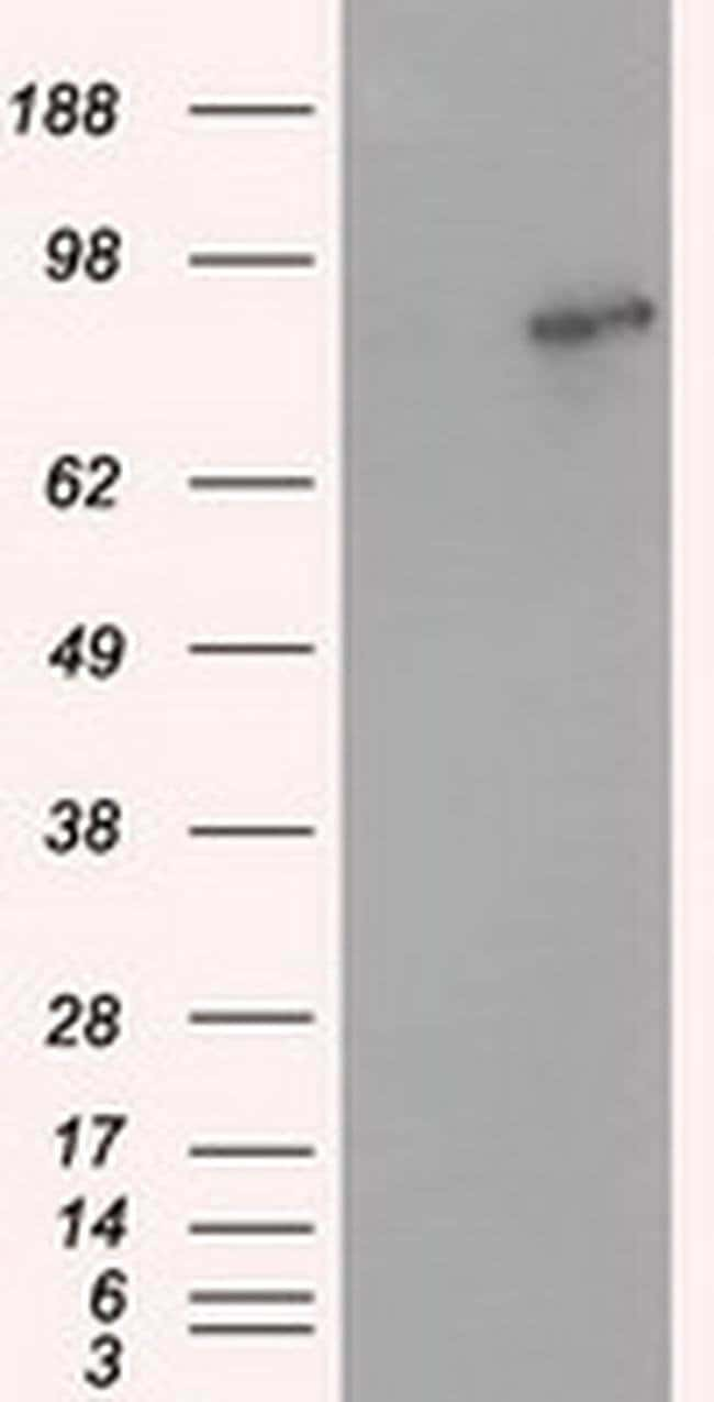 ARNT Mouse anti-Human, Clone: OTI1D1, liquid, TrueMAB  100 µL; Unconjugated