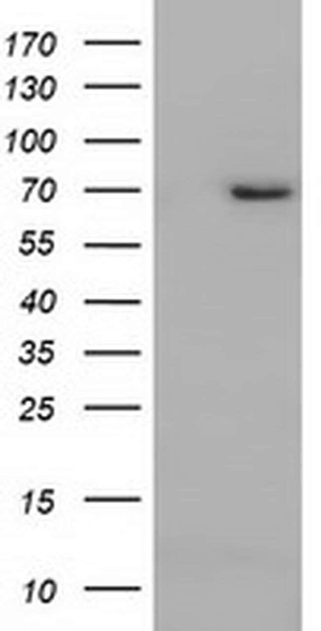 ARNTL Mouse anti-Human, Clone: OTI1D1, liquid, TrueMAB  100 µL; Unconjugated