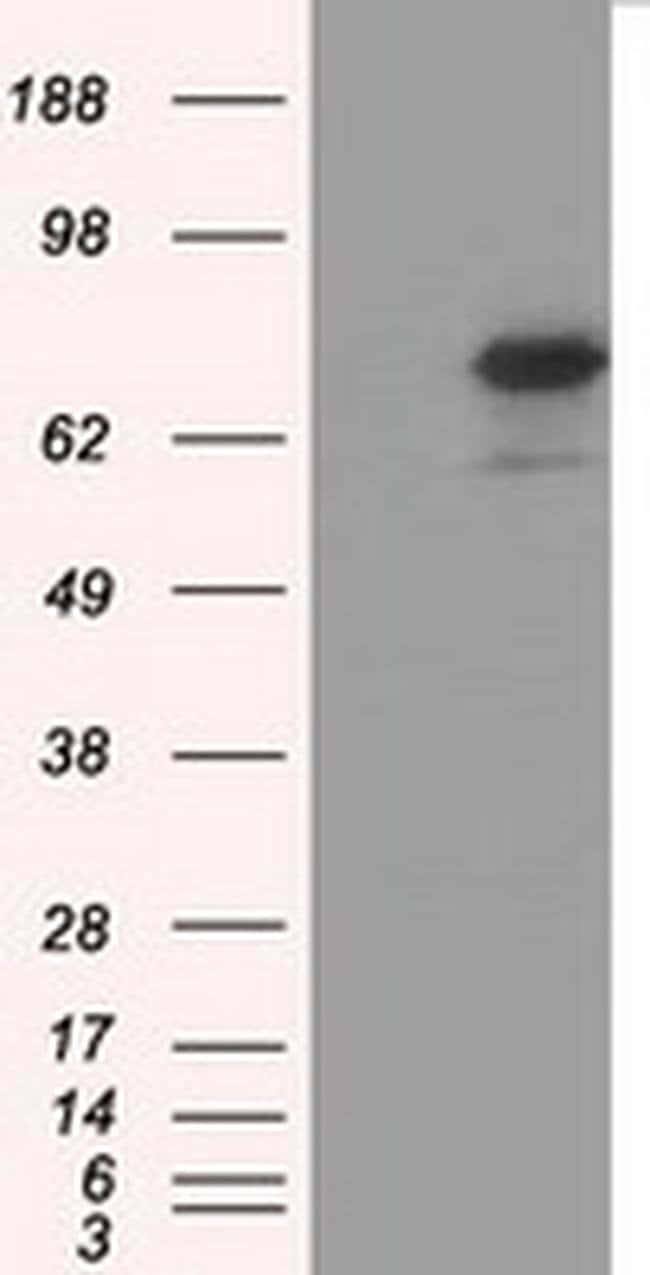 ARNTL Mouse anti-Canine, Human, Rat, Clone: OTI3G9, liquid, TrueMAB  30