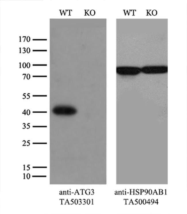 ATG3 Mouse anti-Canine, Human, Rat, Clone: OTI3C6, liquid, TrueMAB  100