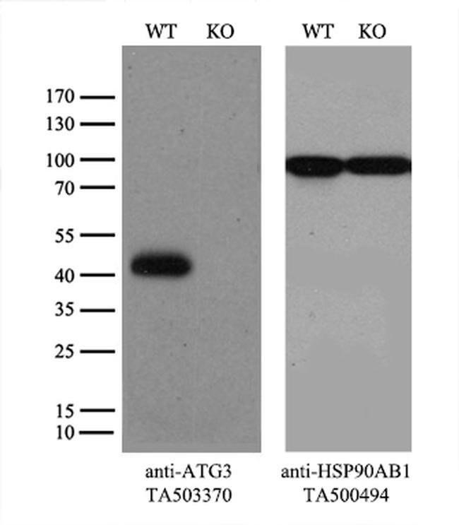 ATG3 Mouse anti-Human, Clone: OTI4F6, liquid, TrueMAB  100 µL; Unconjugated