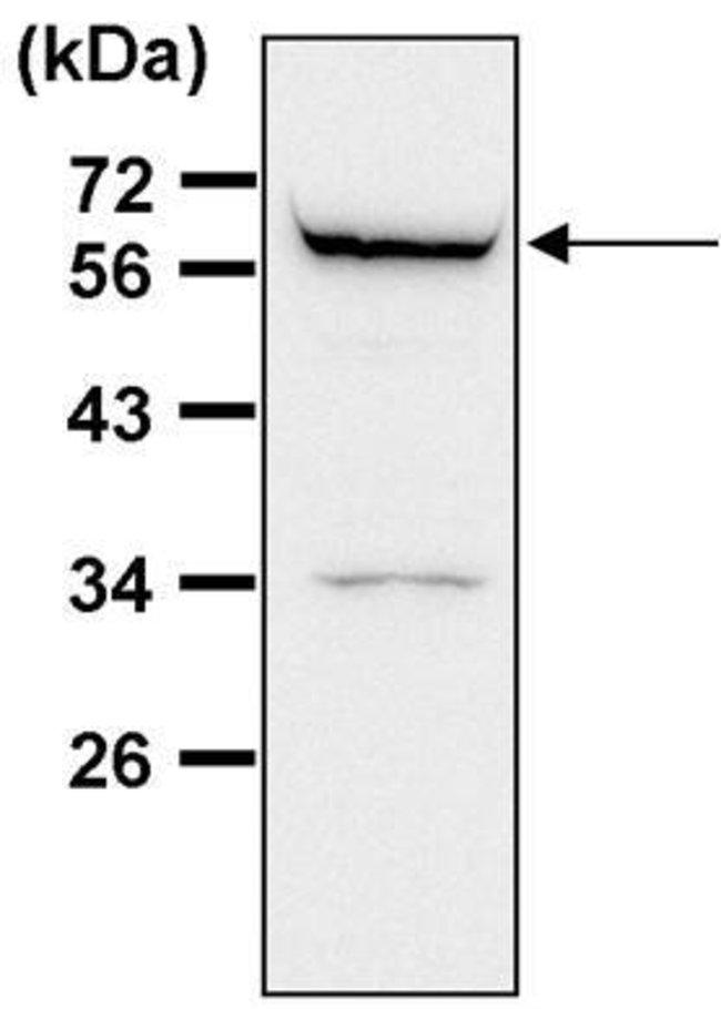 ATG4D Rabbit anti-Human, Polyclonal, Invitrogen 100 µL; Unconjugated