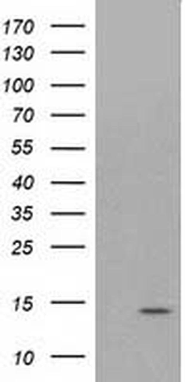 ATP6V1F Mouse anti-Canine, Human, Rat, Clone: OTI6C11, liquid, TrueMAB