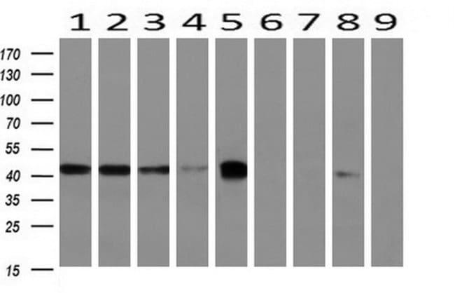 BCAT1 Mouse anti-Canine, Human, Mouse, Clone: OTI3F5, liquid, TrueMAB
