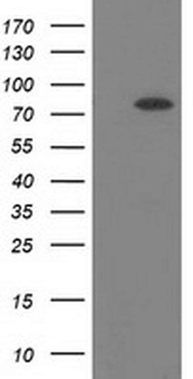 BCHE Mouse anti-Human, Clone: OTI4C12, liquid, TrueMAB  30 µL; Unconjugated