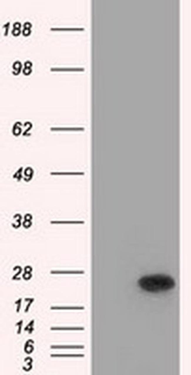 BCL10 Mouse anti-Human, Clone: OTI4A8, liquid, TrueMAB  100 µL; Unconjugated