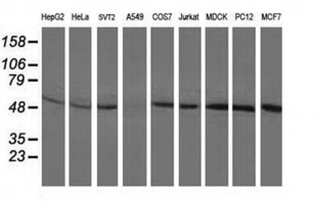 BECN1 Mouse anti-Canine, Human, Rat, Clone: OTI3C3, liquid, TrueMAB  100