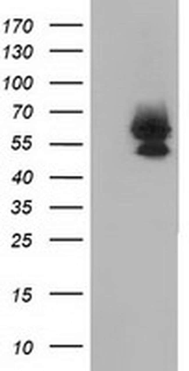 BEST3 Mouse anti-Human, Clone: OTI3B11, liquid, TrueMAB  30 µL; Unconjugated