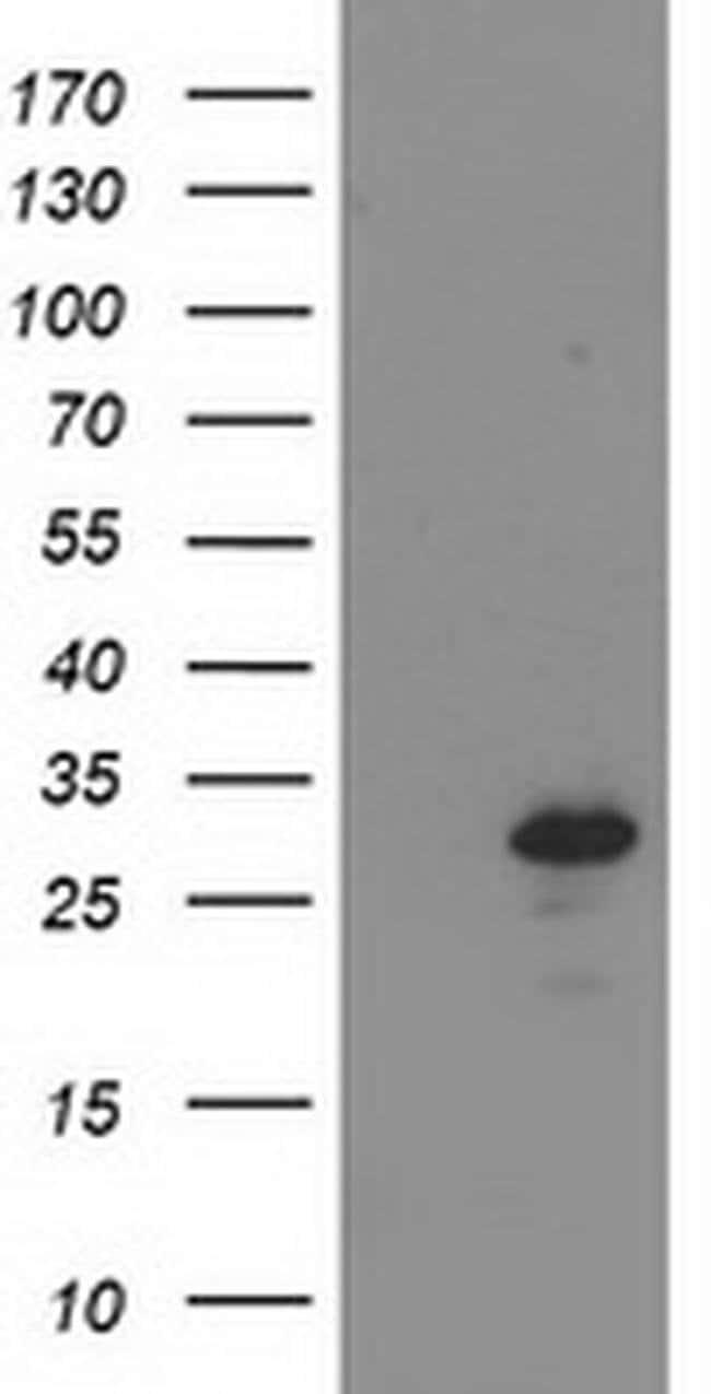BIN3 Mouse anti-Human, Clone: OTI4A6, liquid, TrueMAB  100 µL; Unconjugated