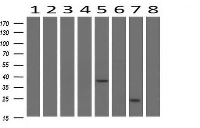 BIRC5/Survivin Mouse anti-Human, Clone: OTI2D9, liquid, TrueMAB  100 µL;