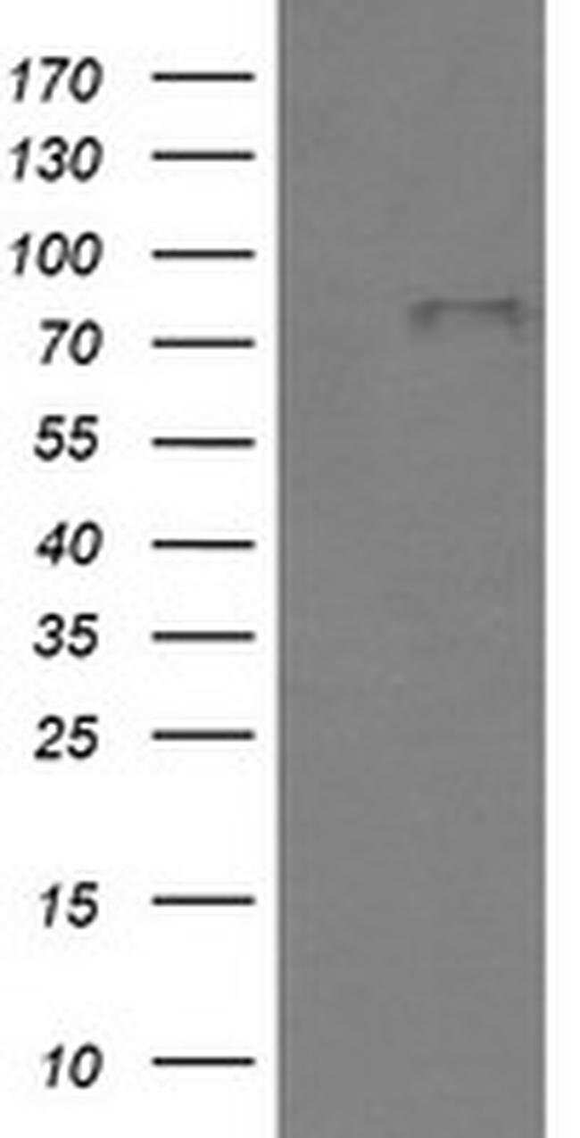 BMP1 Mouse anti-Human, Clone: OTI3E9, liquid, TrueMAB  100 µL; Unconjugated