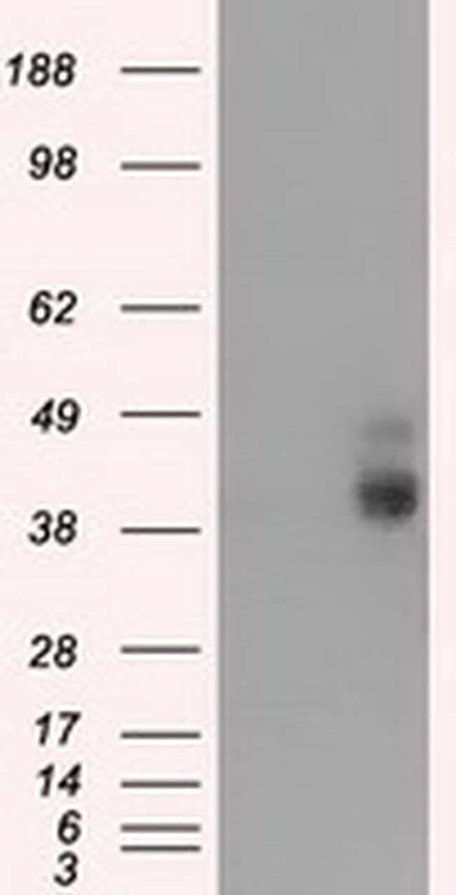 BSG Mouse anti-Human, Clone: OTI5E1, liquid, TrueMAB  100 µL; Unconjugated