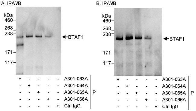 BTAF1 Rabbit anti-Human, Polyclonal, Bethyl Laboratories 10 μl; Unlabeled:Antibodies