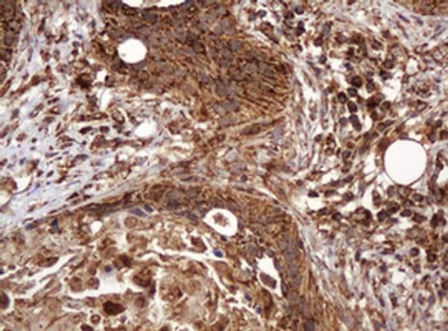 BTLA Mouse anti-Human, Clone: OTI2E4, liquid, TrueMAB  100 µL; Unconjugated