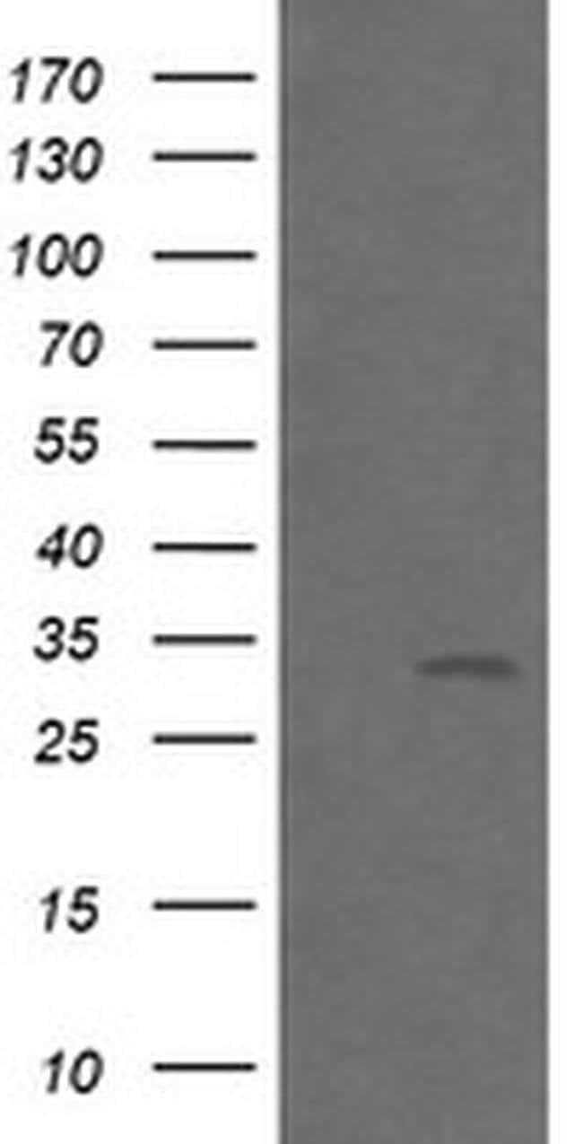 BTLA Mouse anti-Human, Clone: OTI4D6, liquid, TrueMAB  30 µL; Unconjugated