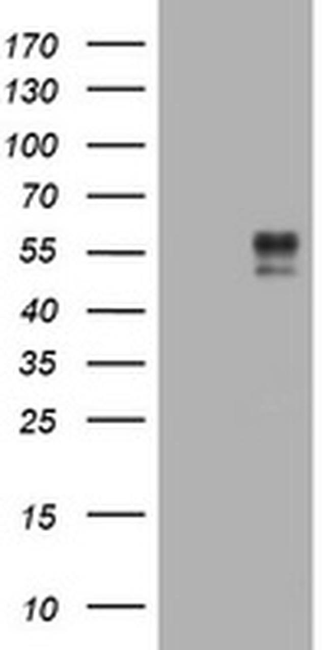 BTLA Mouse anti-Human, Clone: OTI2G8, liquid, TrueMAB  100 µL; Unconjugated