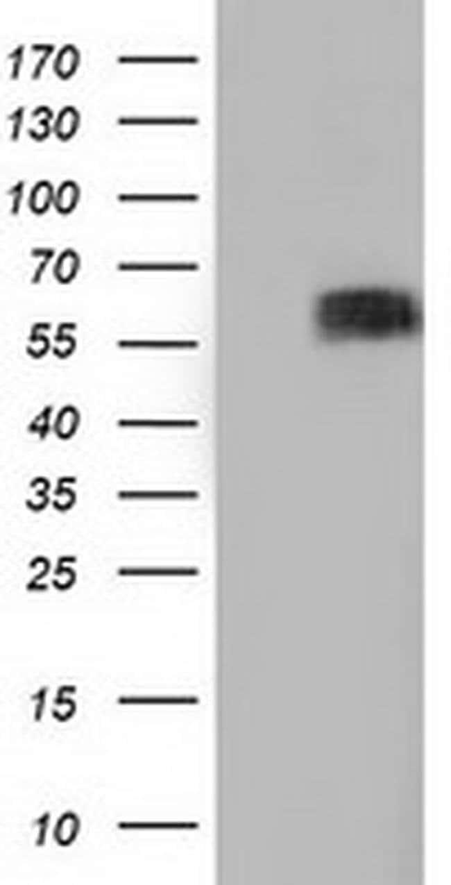 BTN1A1 Mouse anti-Canine, Human, Clone: OTI7B5, liquid, TrueMAB  100 µL;