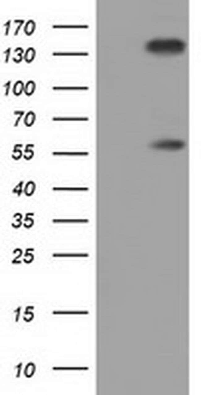 BTN1A1 Mouse anti-Human, Clone: OTI4H10, liquid, TrueMAB  100 µL;