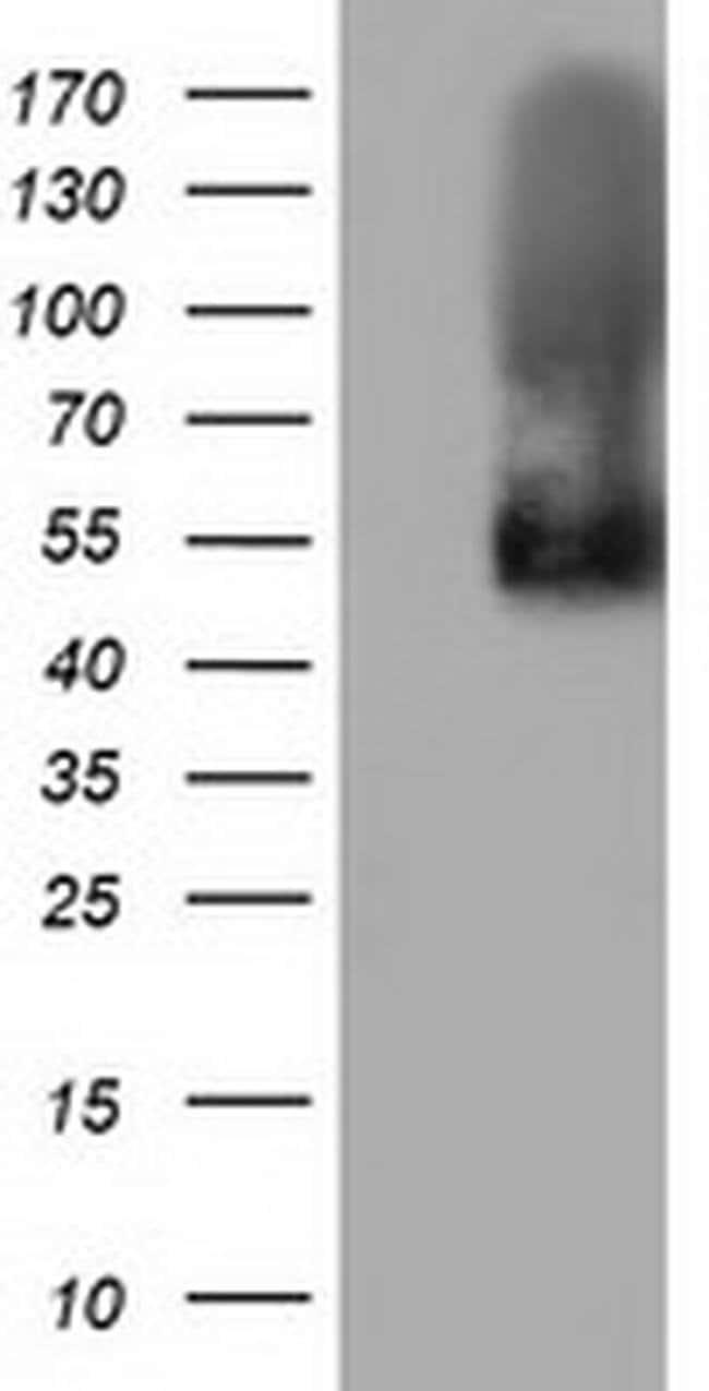 BTN1A1 Mouse anti-Human, Clone: OTI7C2, liquid, TrueMAB  100 µL; Unconjugated